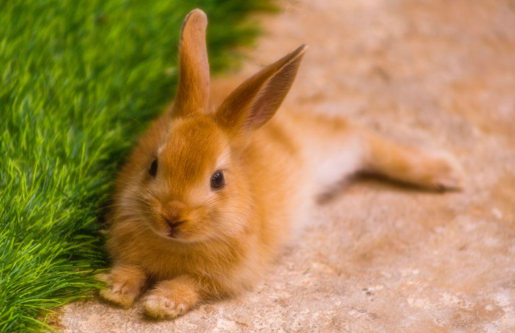 Jak na čištění uší u králíků?
