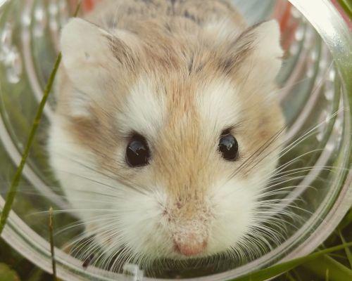 Proč křečkovi vypadávají chlupy?