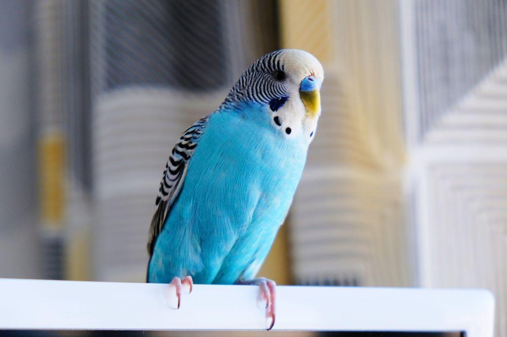 Vlastníte papouška? Pozor na 5 věcí, které mu mohou ohrozit život