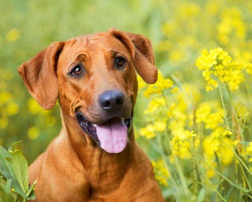 Paraziti u psů: tři nejběžnější druhy