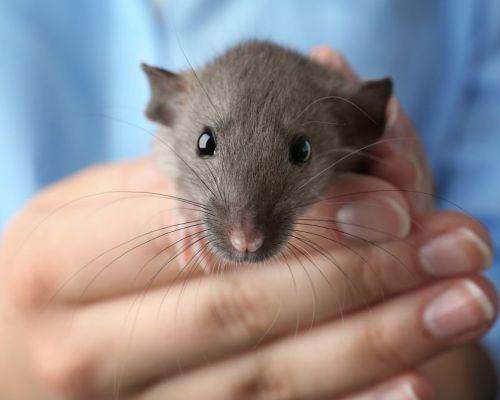 Čím krmit potkana?