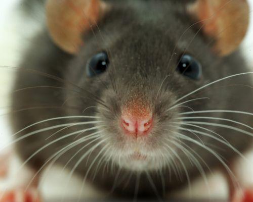 Co byste měli vědět před koupí potkana?