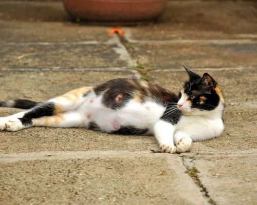 Březost kočky - jak se postarat o nastávající kočičí mámu?