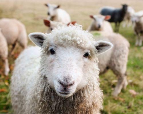 Jak sestavit podzimní stravu pro ovce?